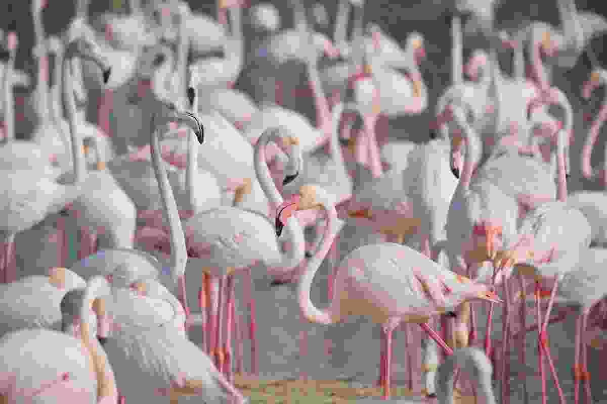 Flamingos at Ras Al Khor (Shutterstock)