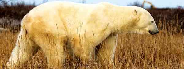 A report on polar bear jail in Churchill, Canada (Stuart Forster)