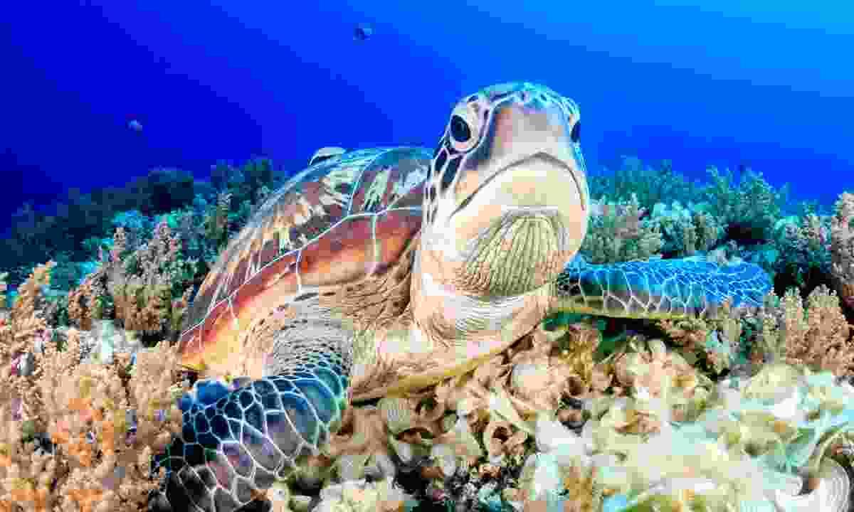 Swim with sea turtles in Sipadan, Malaysia (Shutterstock)