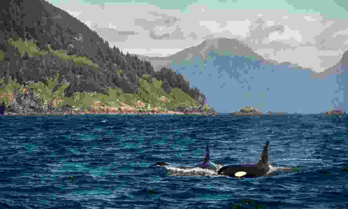 Orca  in Alaska (Shutterstock)