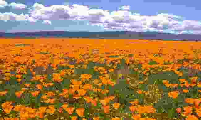 Poppies in Antelope Valley (Shutterstock)