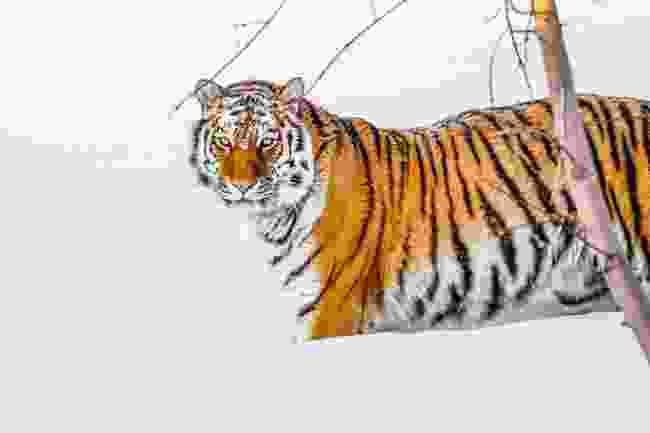 A Siberian tiger in Russia (Shutterstock)