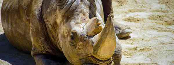 Sumatran Rhino (Shutterstock)