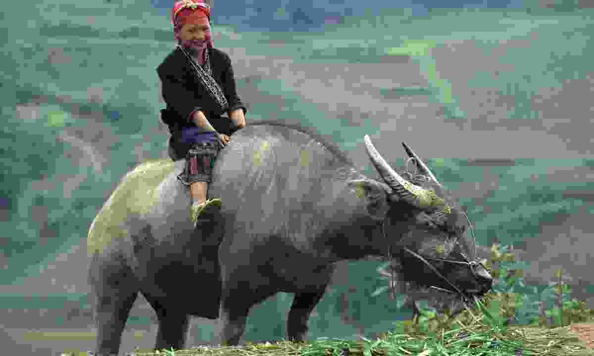 Child riding a buffalo in the Tonkinese Alps (Dreamstime)