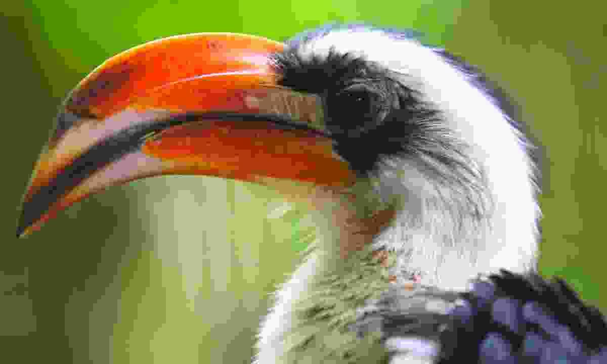 Von der Decken's Hornbill (Dreamstime)
