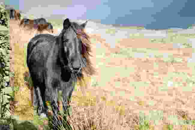 Ponies in Cumbria (Shutterstock)