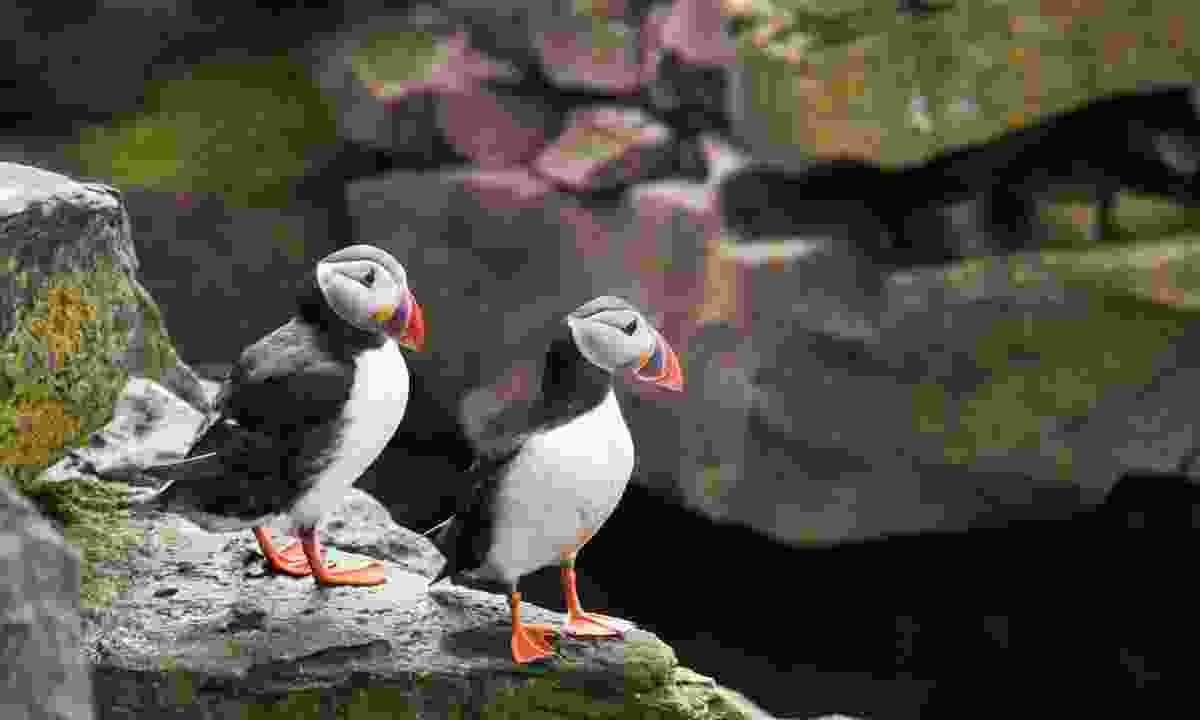 Everyone's favourite bird, the puffin (Aurora Expeditions)