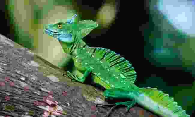 An emerald basilisk lizard (Dreamstime)