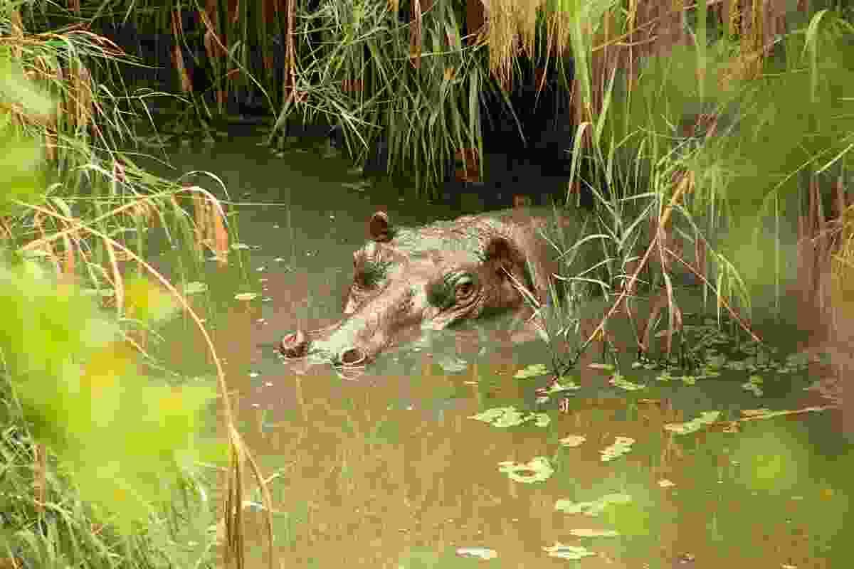Getting close up to a hippo as it cools off (Paul Bloomfield)