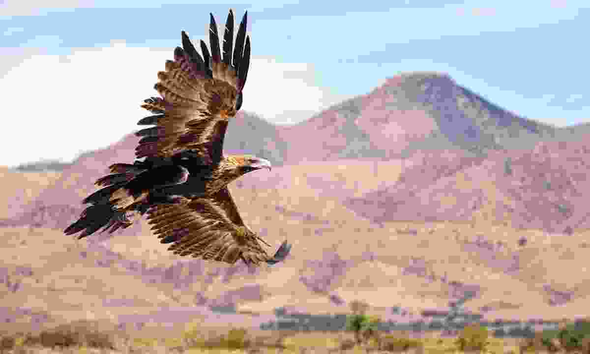 The formidable Wedge-tailed eagle