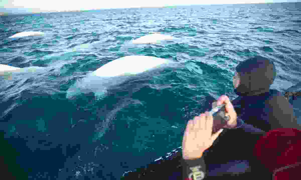 Beluga Whales off Hudson Bay, Canada (Canadian Tourism Authority