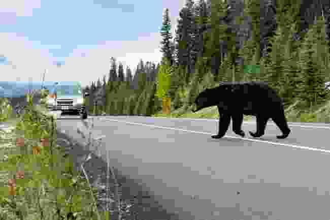 A black bear surprising a driver (Shutterstock)