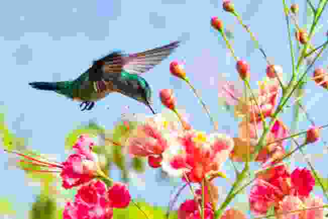 A blue-chinned sapphire hummingbird feeding on Pride of Barbados flowers (Shutterstock)