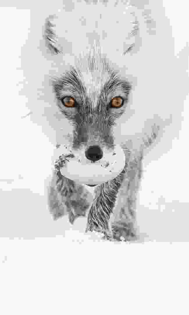 An Arctic fox carrying a goose egg (Sergey Gorshkov)