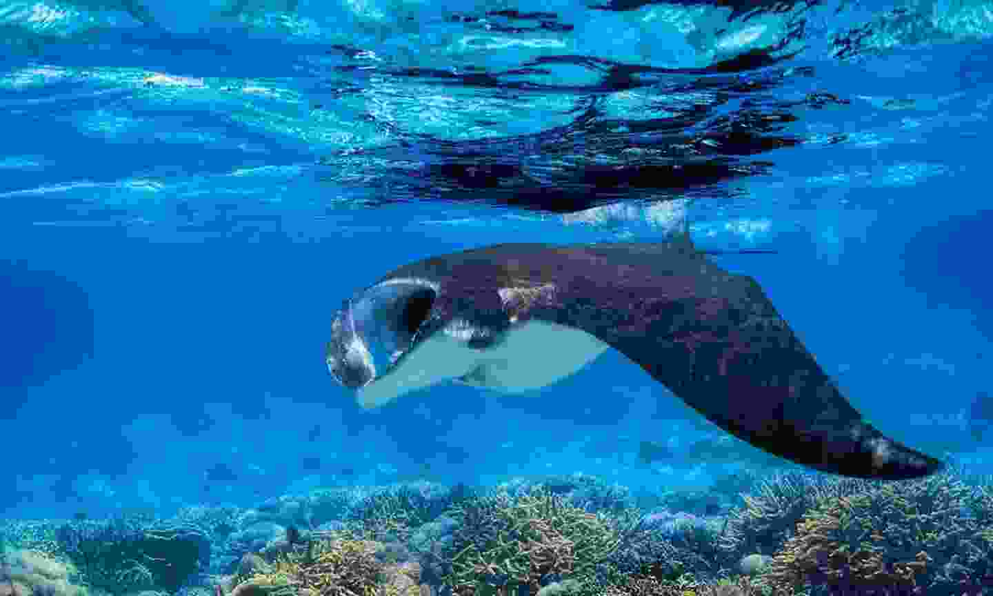 Manta ray on the Great Barrier Reef (Cox & Kings Travel)