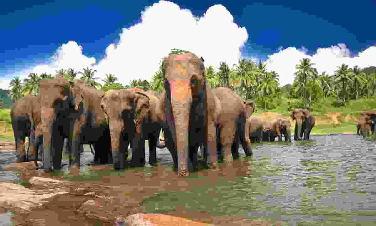 Elephants bathing in Sri Lanka (Dreamstime)