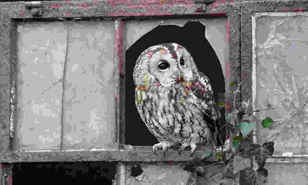 A tawny owl (Dreamstime)