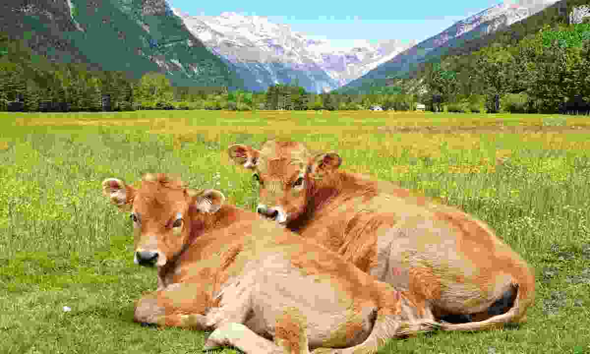 Two of Covadonga's cows (Dreamstime)