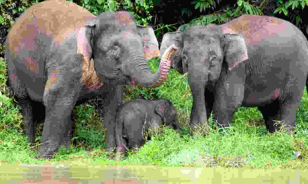 A family of pygmy elephants waving from the bank of the Kinabatangan River (Dreamstime)