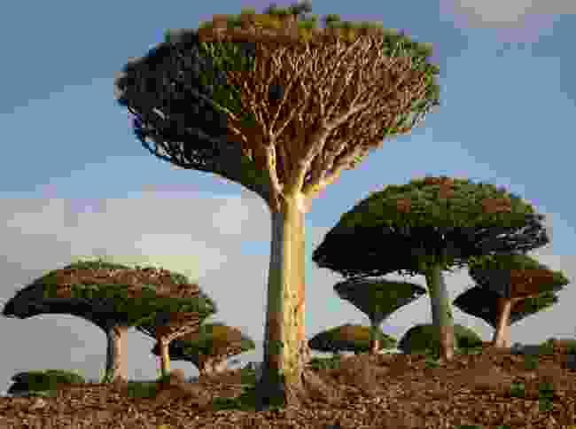 Dragon blood trees on the island of Socotra, Yemen (Shutterstock)