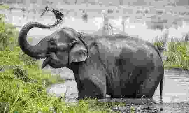 An Asian elephant bathing in a river in Chitwan National Park (Shutterstock)