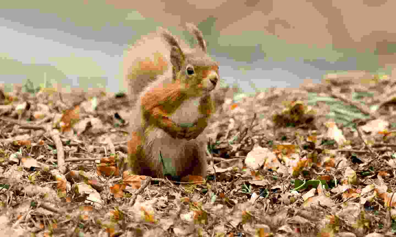 Red squirrel foraging on Brownsea Island (Shutterstock)