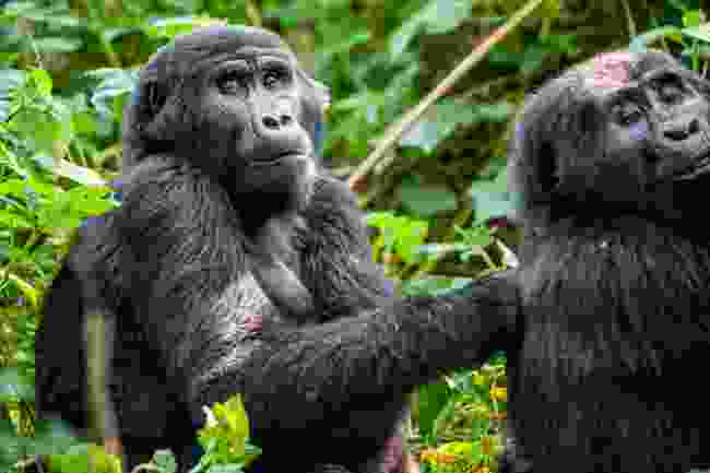 Mountain gorillas in their natural habitat (Dreamstime)