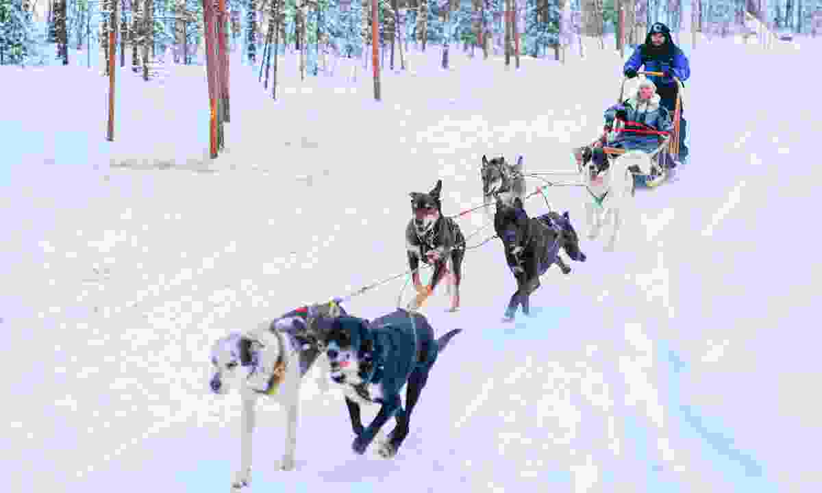 Family riding husky sled in Finnish forest, Lapland (Dreamstime)