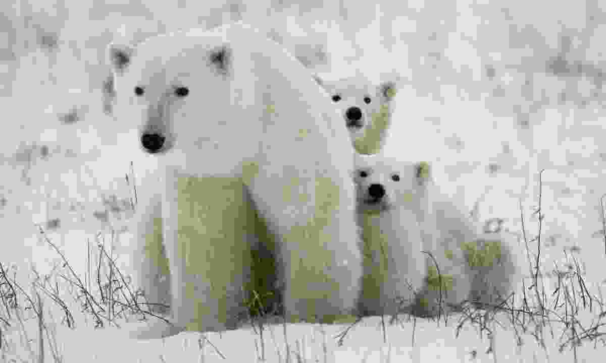 Polar bear and cubs (Dreamstime)