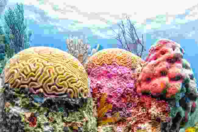 Corals in Belize (Dreamstime)