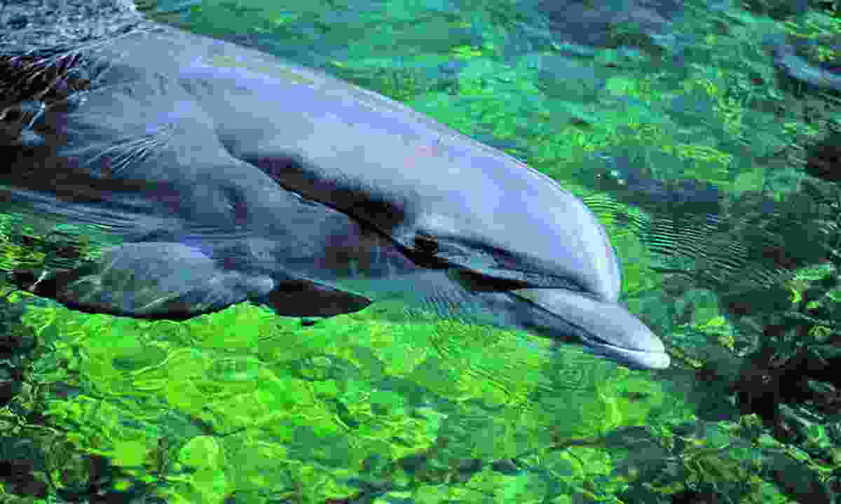 Bottlenose dolphins thrive here