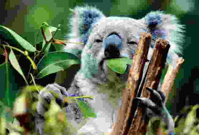Lone Pine Koala Sanctuary, your first stop in Brisbane? (Dreamstime)