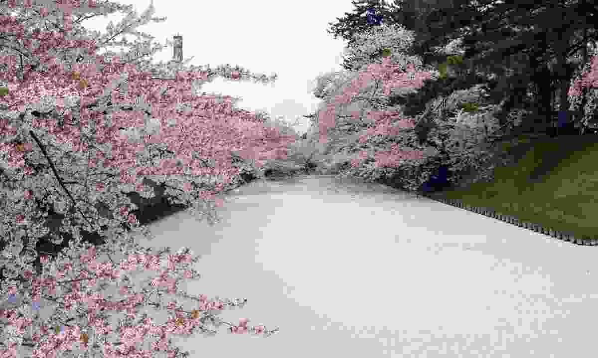 Hirosaki Park cherry blossoms (Japan National Tourism Organization)