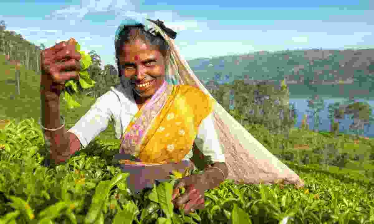 Picking tea leaves in Sri Lanka (Shutterstock)