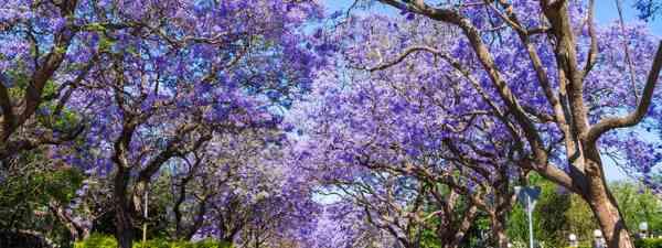 Jacaranda in Pretoria, South Africa (Shutterstock)