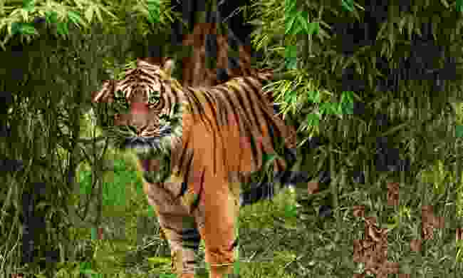 Spot magnificent Bengal tigers in the  Anamalai Tiger Reserve (Shutterstock)