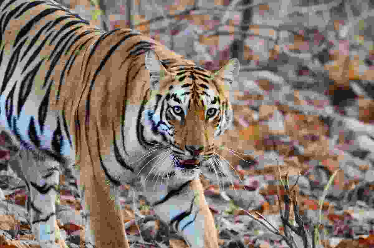 Tiger in central India (Dreamstime)