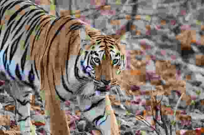 Tiger in central India (Dreamstime)