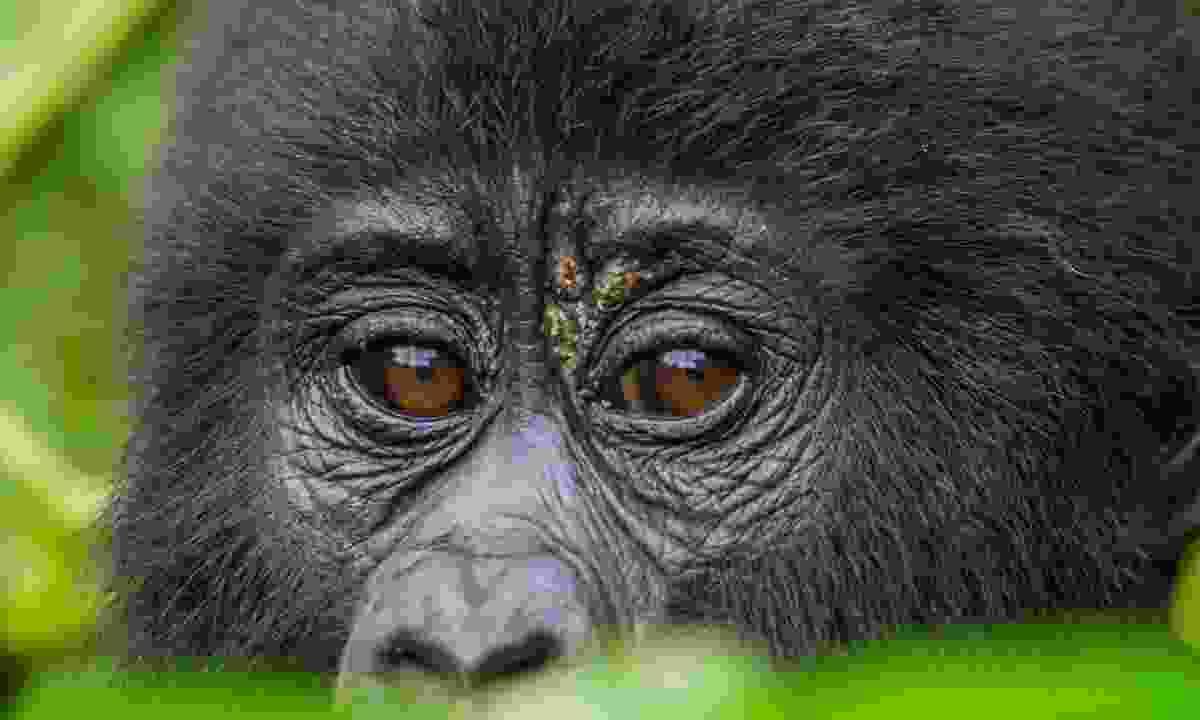 Mountain gorilla in Bwindi (Dreamstime)