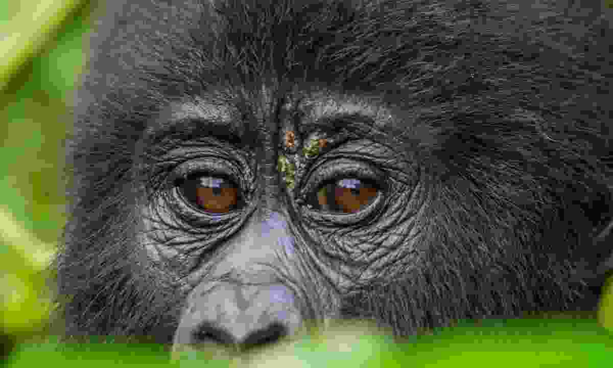 Mountain gorilla in Bwindi (Dreamstime)