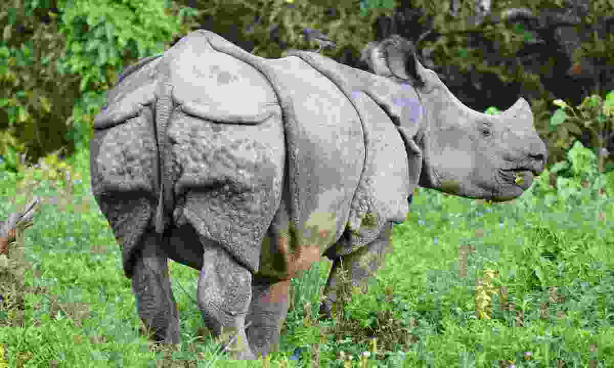 A greater one-horned rhino in Chitwan (Phoebe Smith)