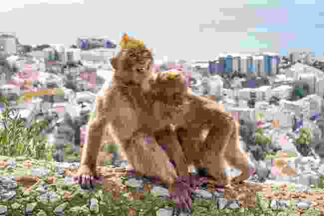Cheeky monkeys, Gibraltar (Shutterstock)