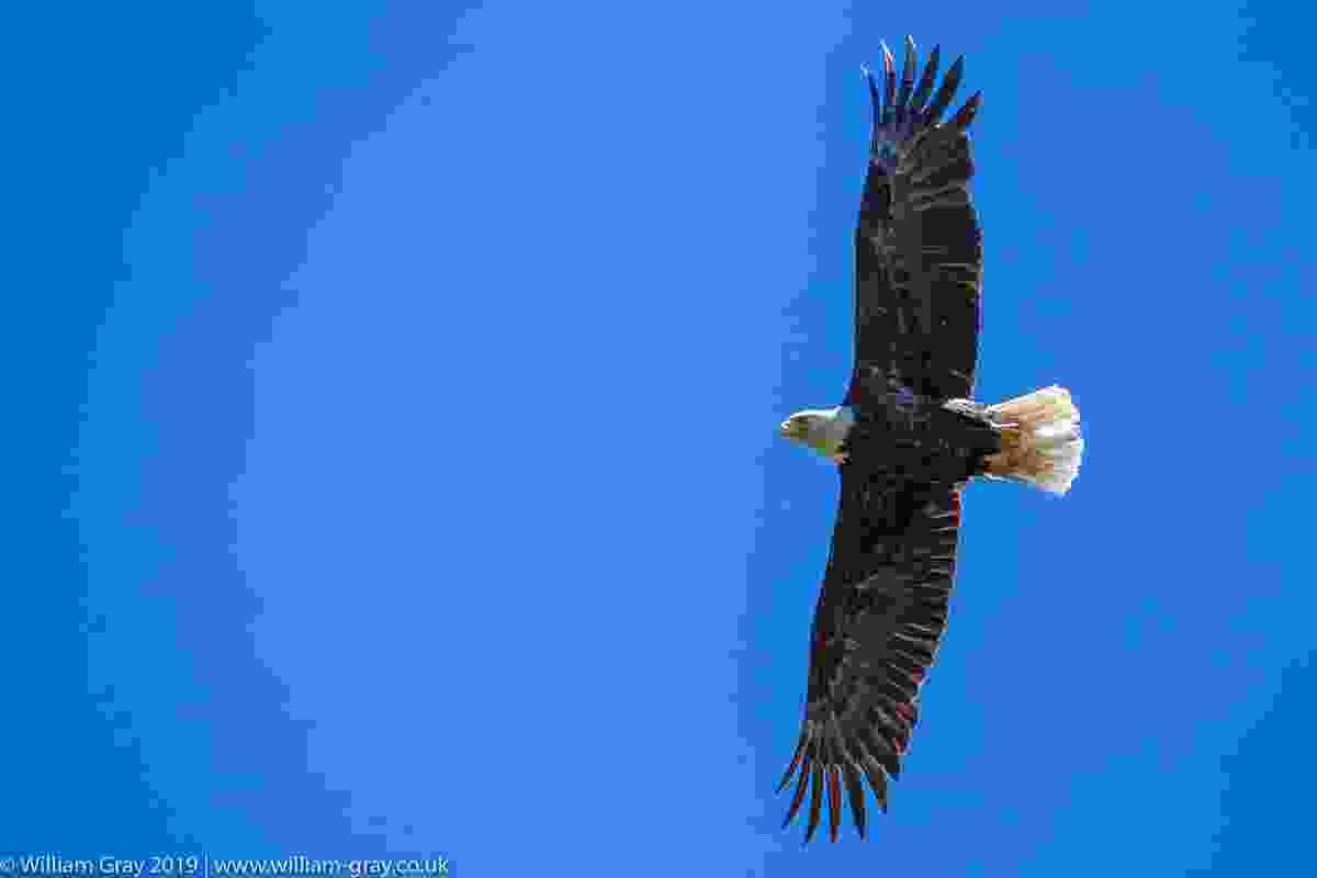 Bald eagle, Vancouver Island, Canada (William Gray)