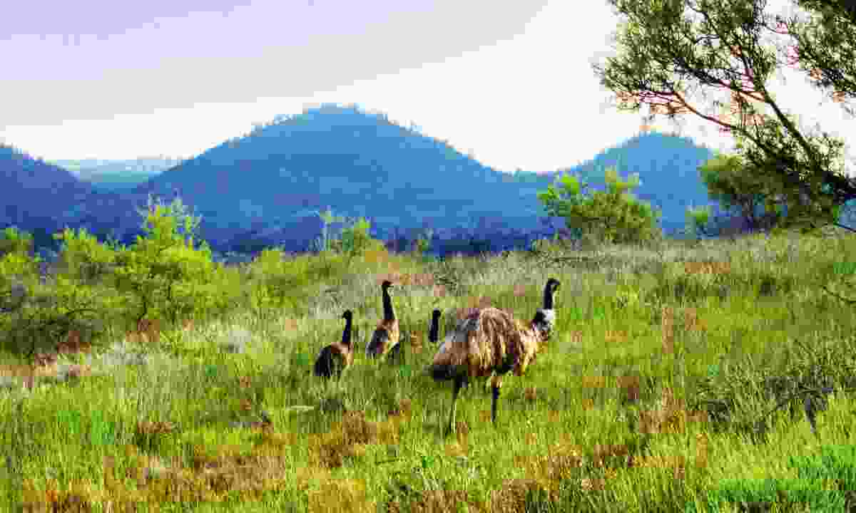 Family of emus in the Flinders Ranges