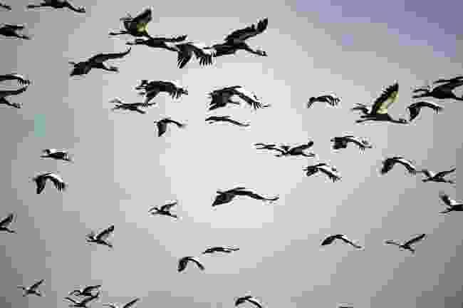 Cranes in flight (Mark Stratton)