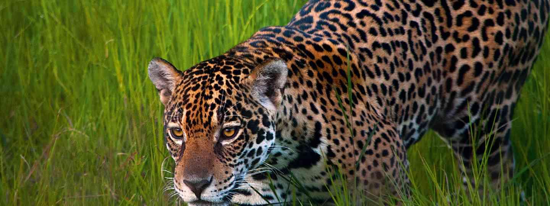 Queen of the Pantanal (Simon Chubb)