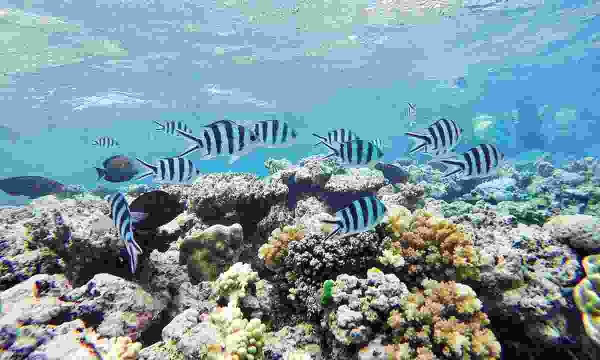 Fish explore the coral of Agincourt Reef (William Gray)