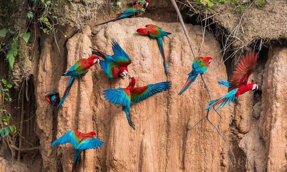 Macaws in the Peruvian Amazon (Shutterstock)