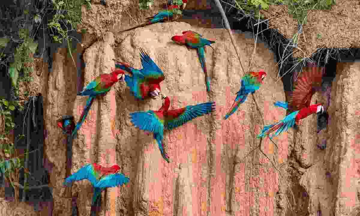 Macaws in the Peruvian Amazon (Shutterstock)