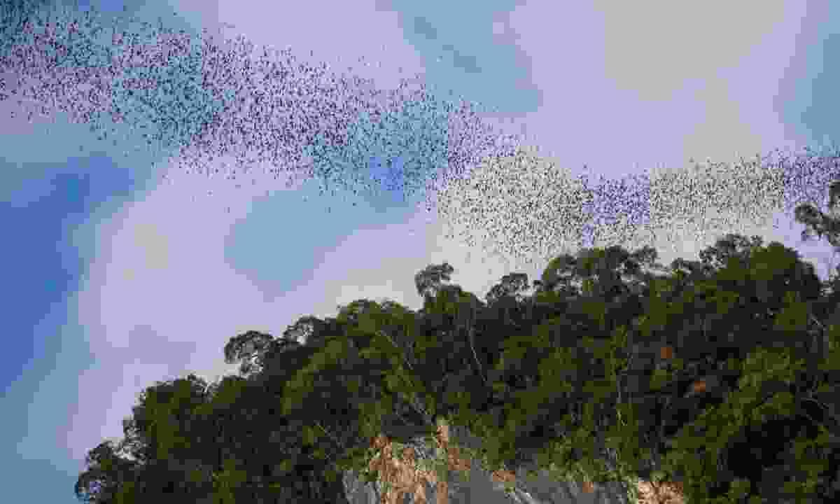 Bats in Gunung Mulu National Park (Dreamstime)